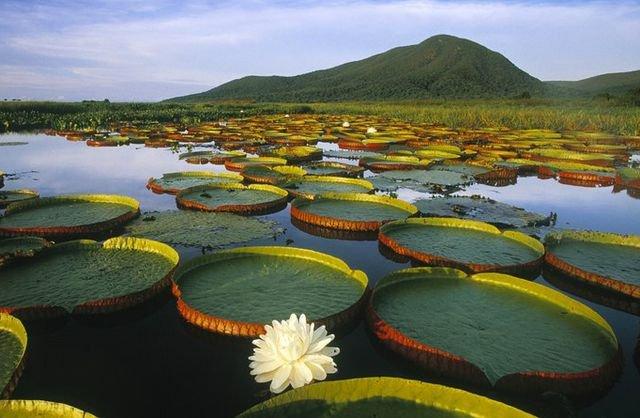 Бразилия пантанал растения редкие
