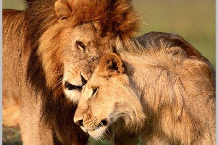 Львиный заповедник